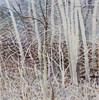 Aspens-Late Winter