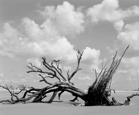 Beached Oak