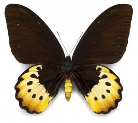 Female Goliath Birdwing