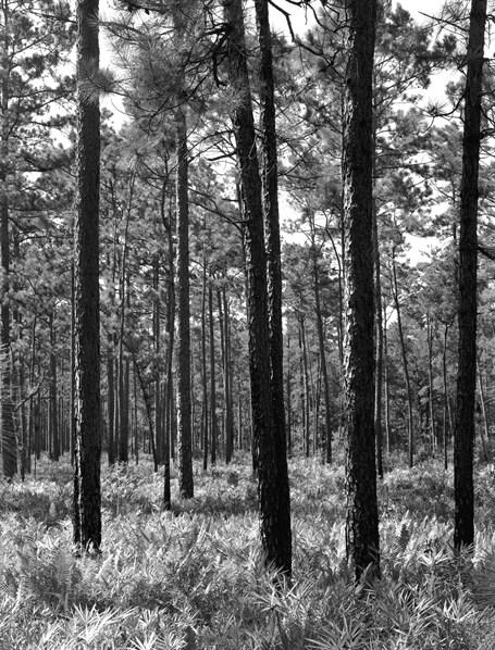 Long Leaf Pine Savannah